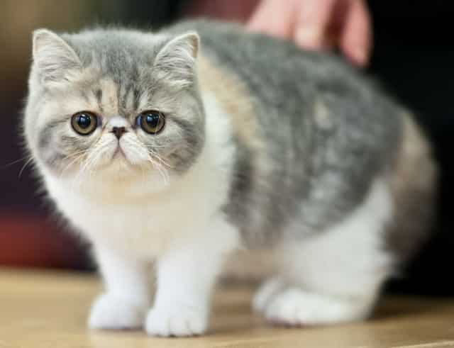 Exotic Shorthair: Pictures, Personality, and How to Care for Your ...