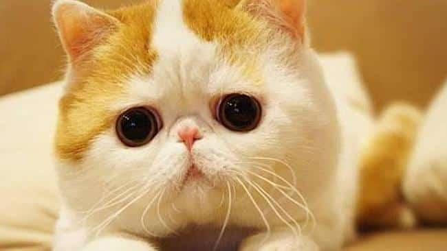 exotic shorthair cat info