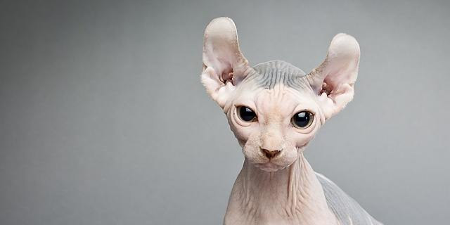 hairless-elf-cat