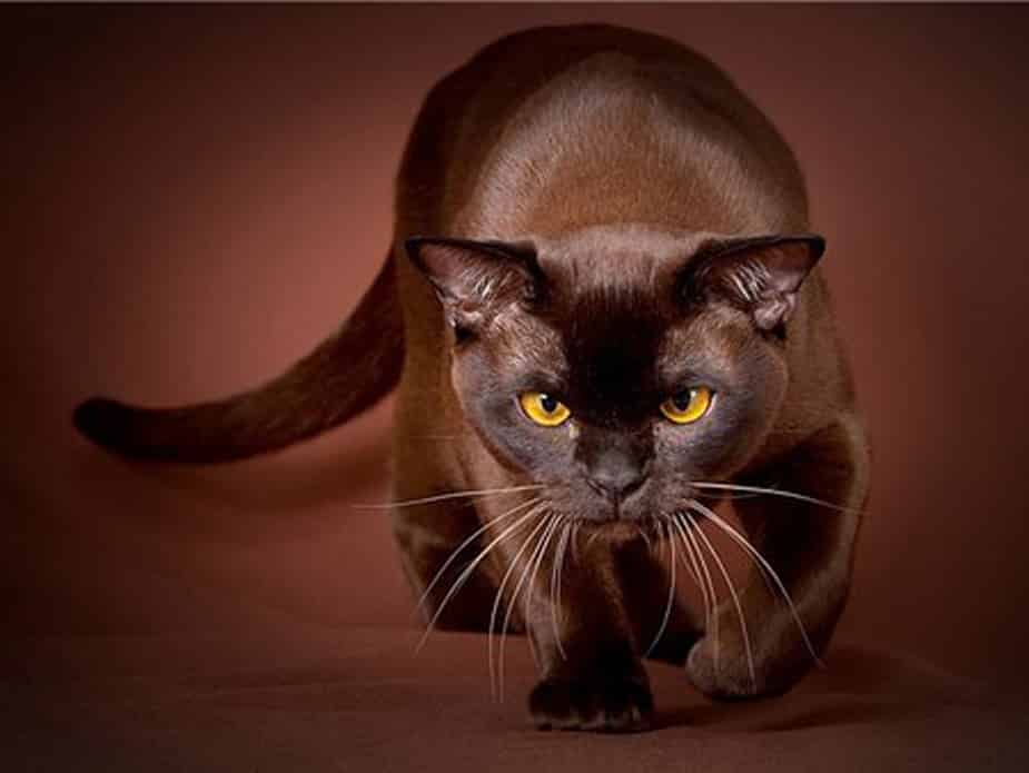 havana brown cat breed info
