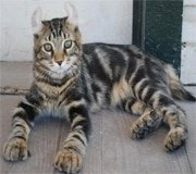 highlander cat breed