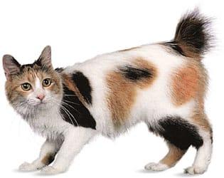 japanese bobtail cat info