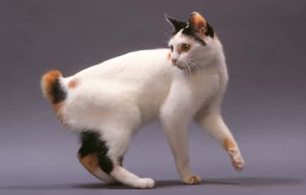 japanese bobtail cat breed info
