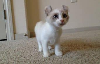 Kinkalow kitten