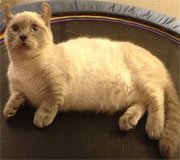 kinkalow cat breed
