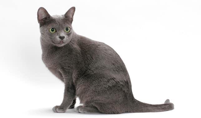 korat cat personality