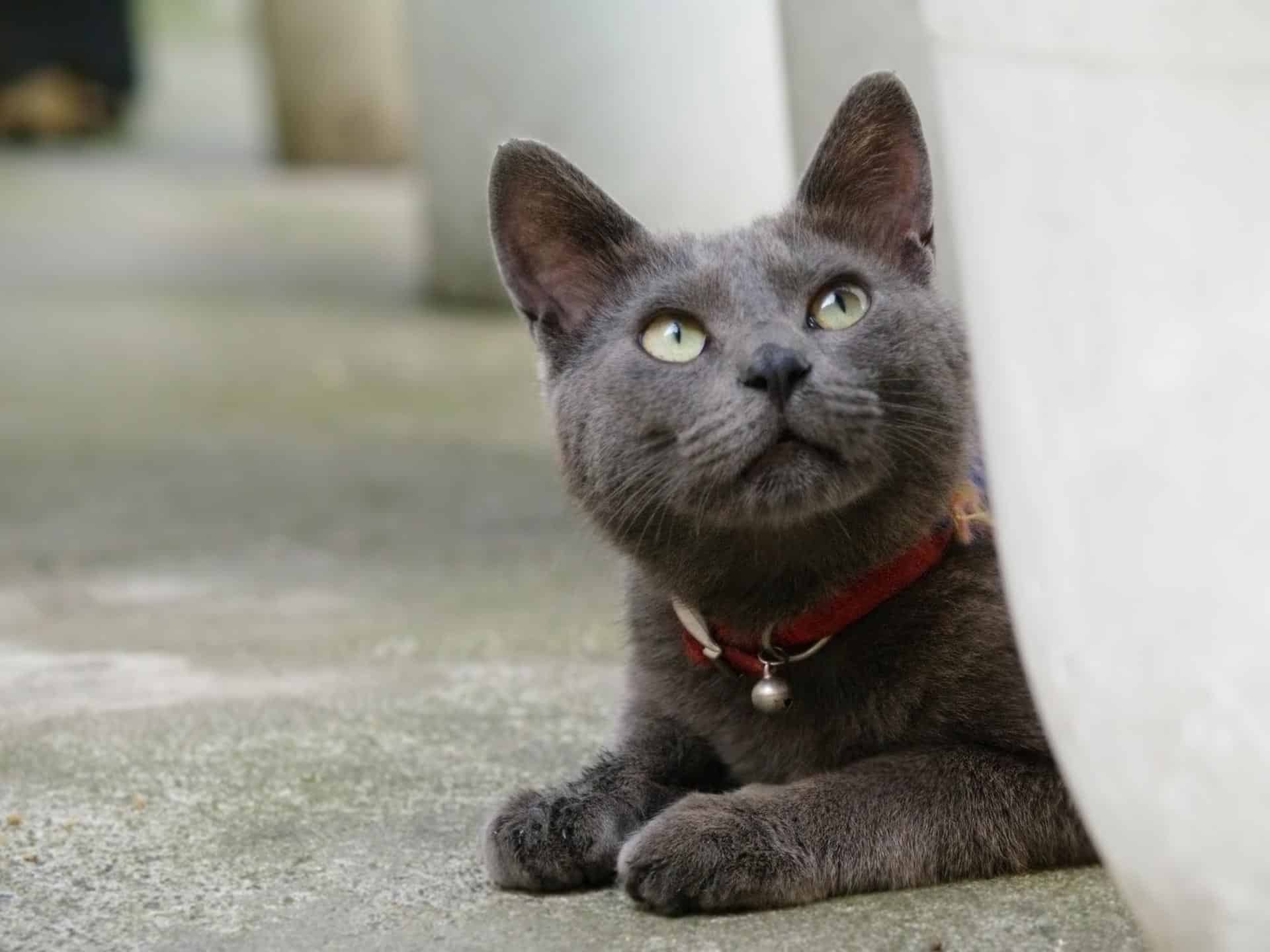 korat cat breed info
