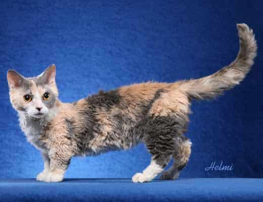 ... Cat: Pictures, Personality, and How to Care for Your Lambkin Dwarf Cat