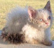 lambkin dwarf cat