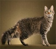 laperm cat breed
