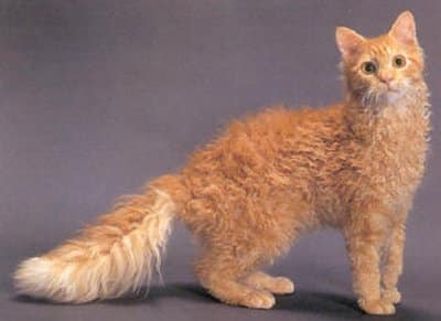 LaPerm Cat: Pictures, ...