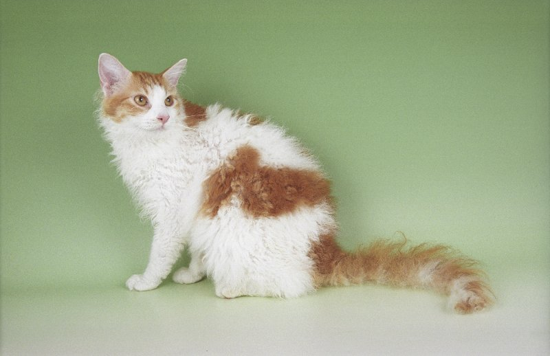 laperm cat