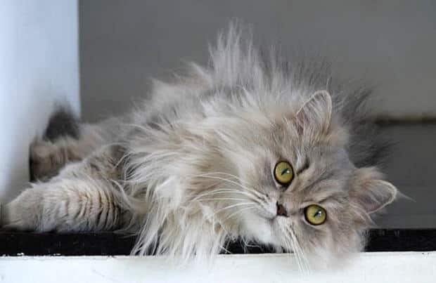 Long Haired Cat Breeds – Purrfect Cat Breeds