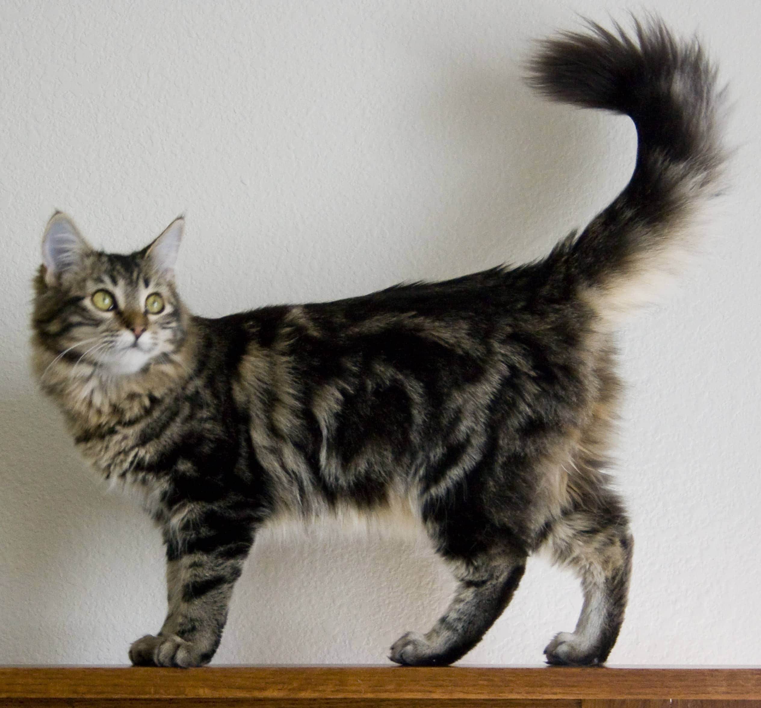 Maine Coon Cat – Purrfect Cat Breeds