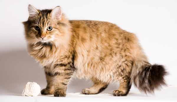 maine coon cats info