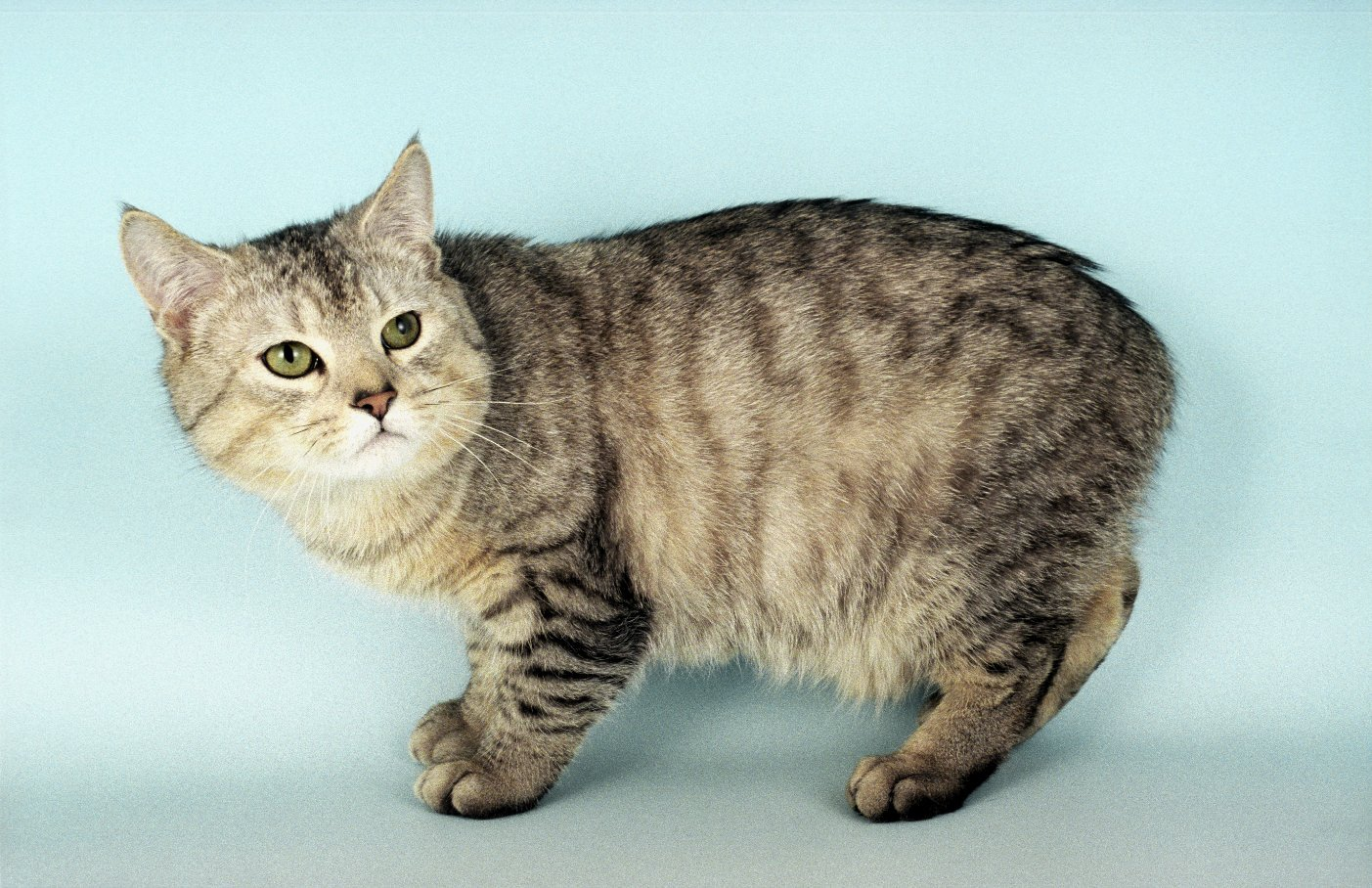 Manx Cat – Purrfect Cat Breeds
