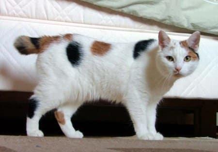 manx cat info