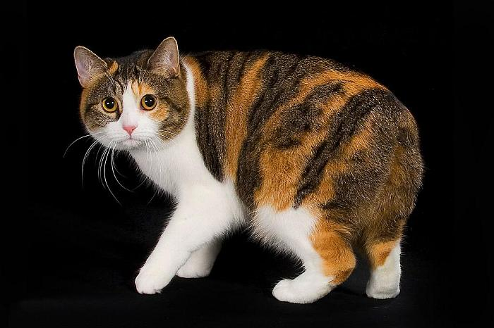 manx cat breed info