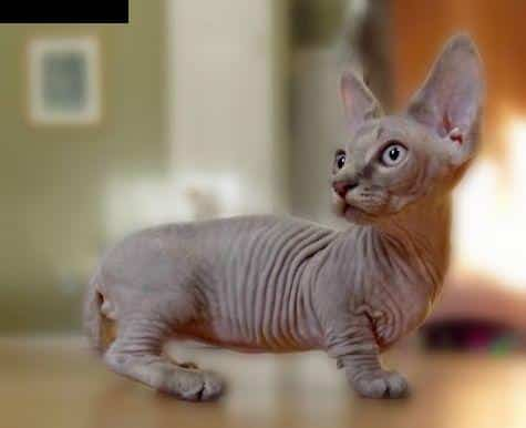 Big Short Haired Breeds Of Cats
