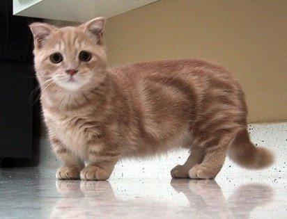 Dwarf Cats With Short Legs Purrfect Cat Breeds