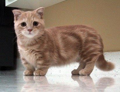 Munchkin Cat breed info