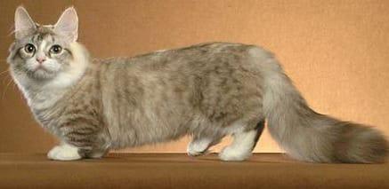munchkin cat personality
