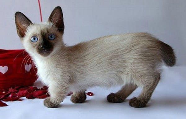 Munchkin Cat Pictures Personality And How To Care For
