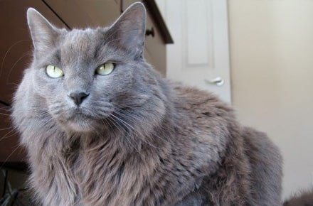 Nebelung Cat Looks Personality And How To Care For Your