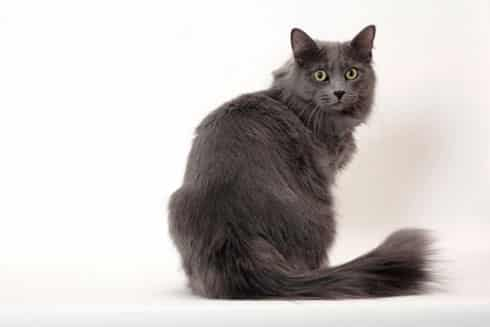 Grey Cats For Sale Bath