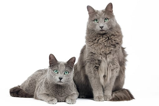 Russian Blue Cat Personality With Dogs