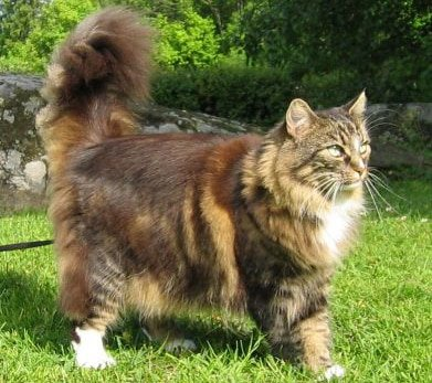 Norwegian Forest Cat breed info
