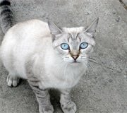 ojos azules cat breed