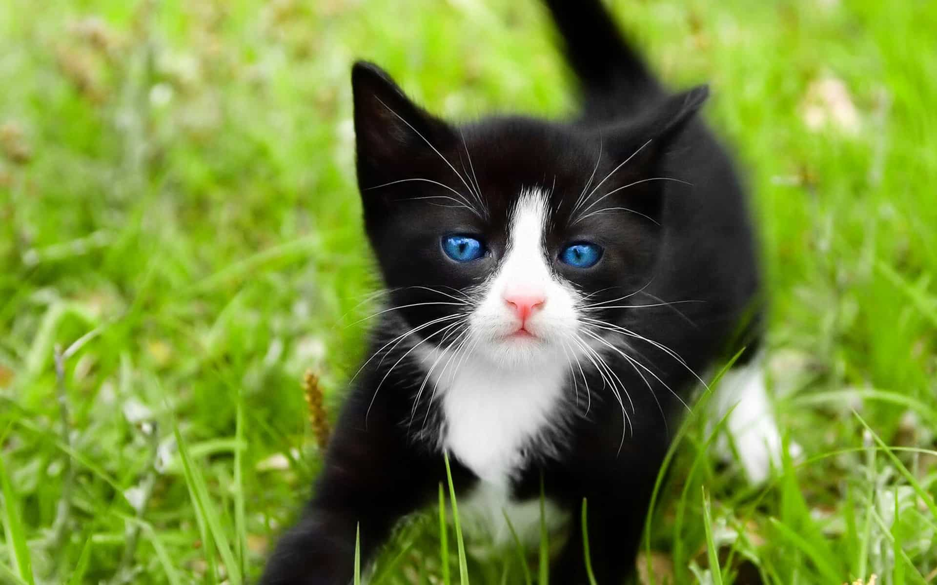 United States shorthair cat breeds, ojos azules