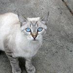 ojos azules cat info
