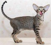 oriental cat breed