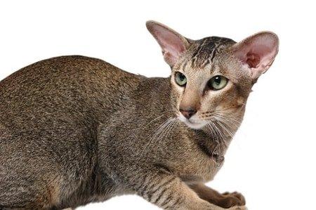 oriental cat info
