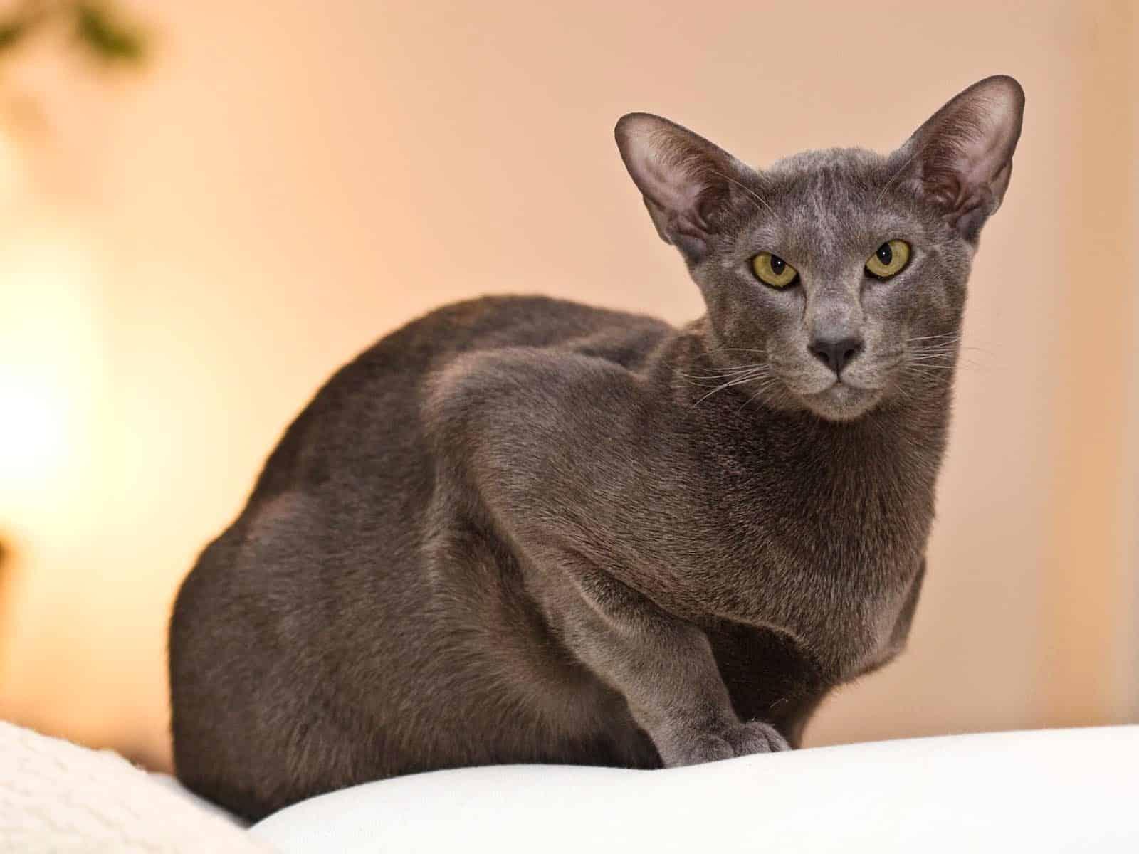 oriental cat breed info