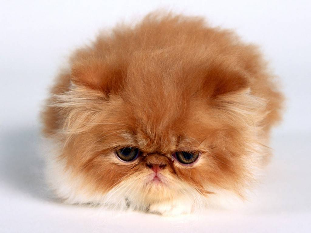 persian cat temperament