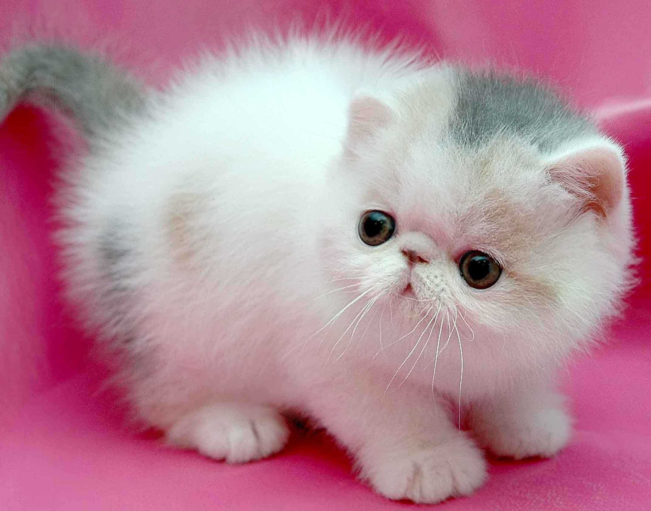 Persian Cat Pictures Personality And How To Care For