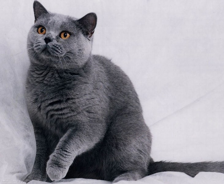 Russian Blue: Pictures, Personality, and How to Care for ...