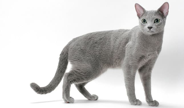 russian blue breed info