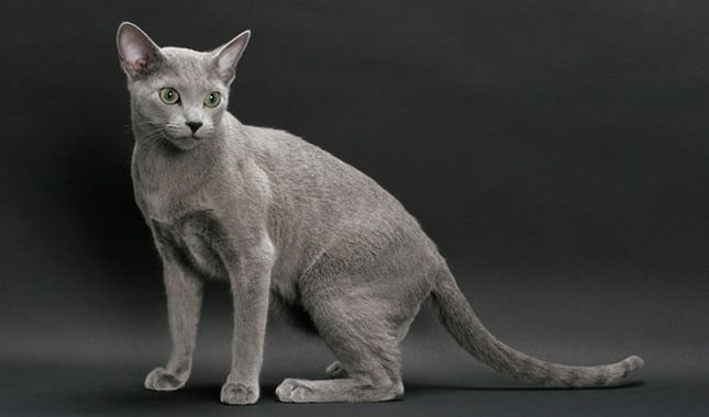 نژاد گربه روسی