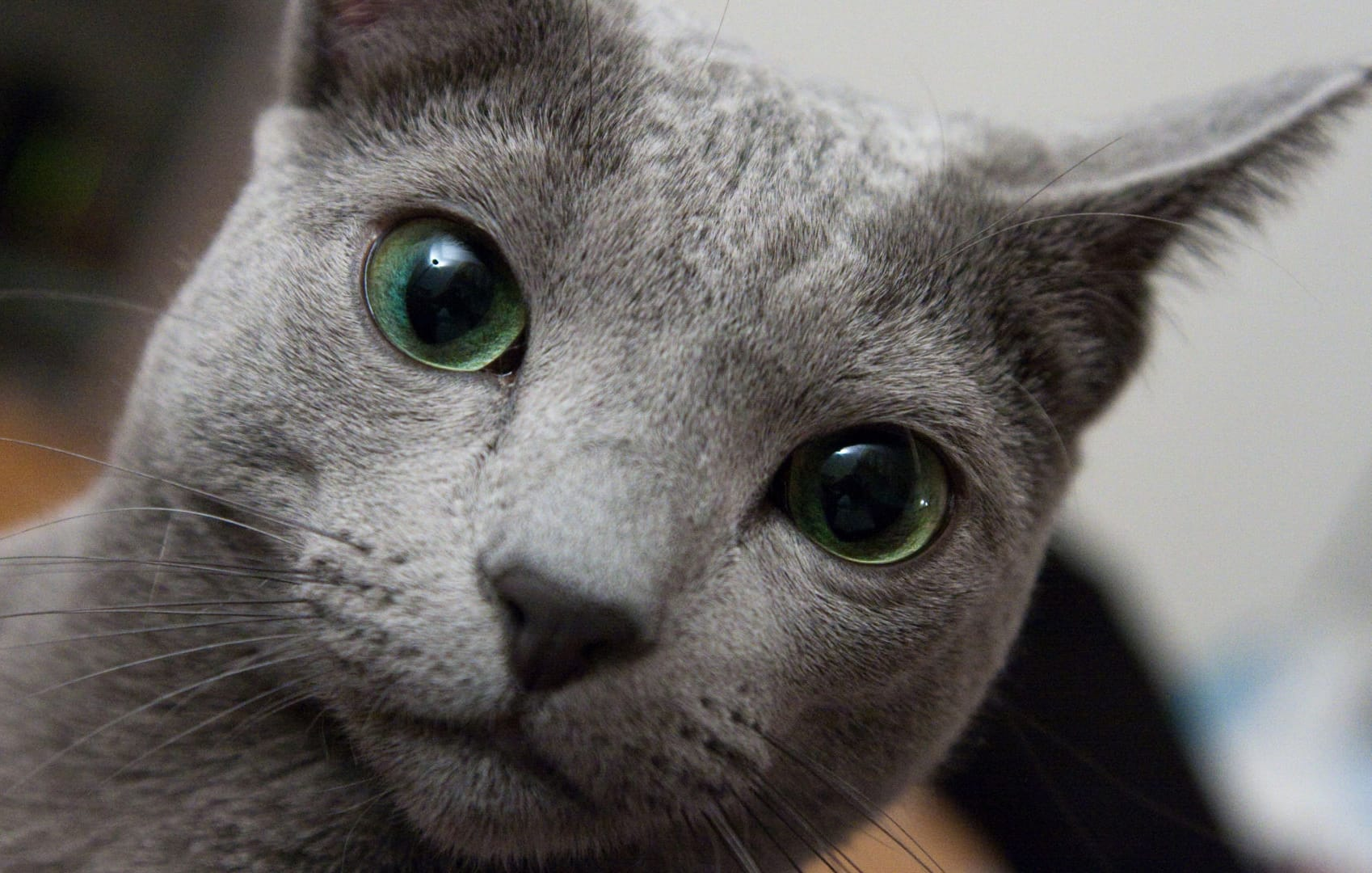 russian blue personality