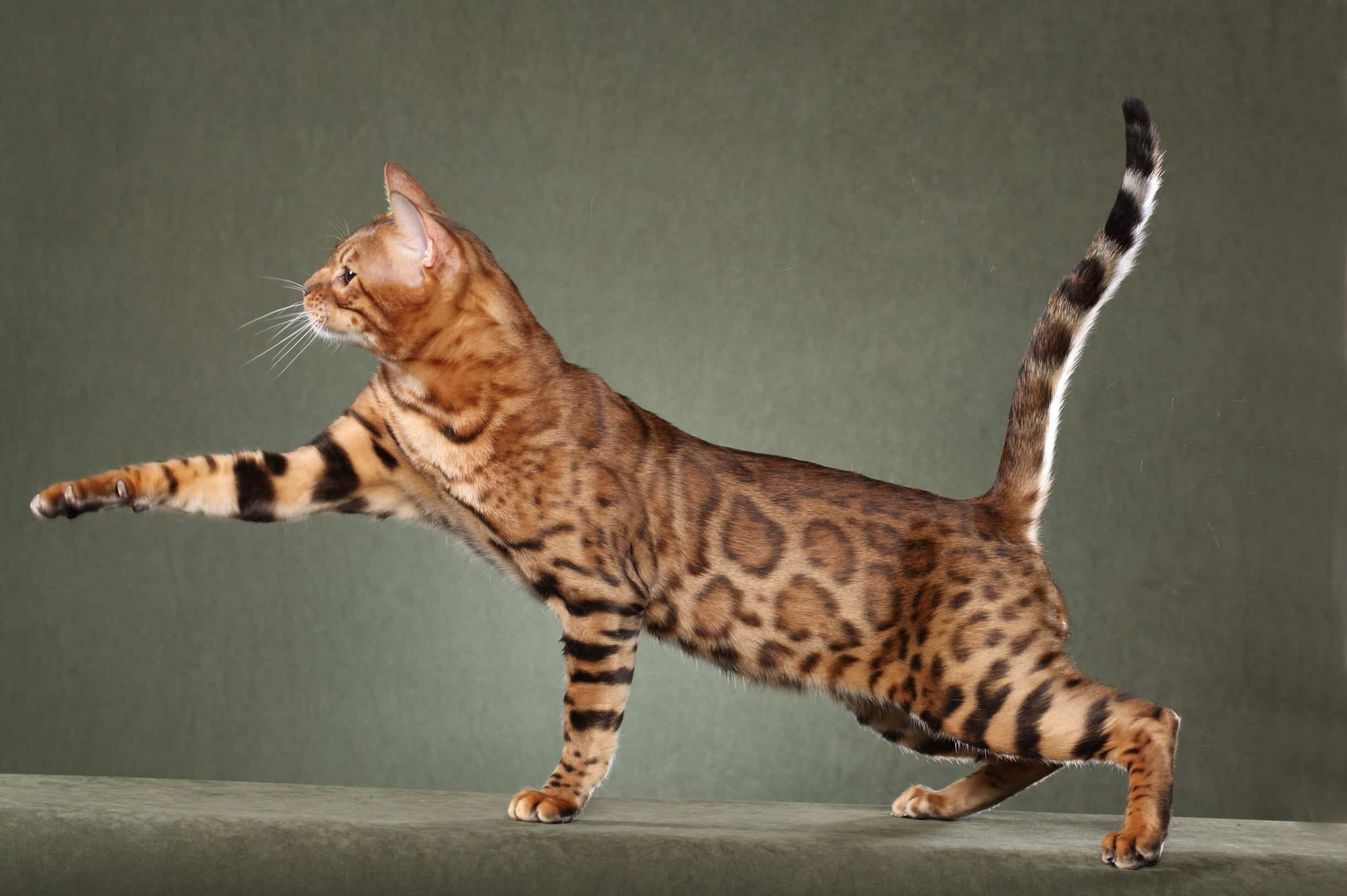 Savannah Cat Purrfect Cat Breeds