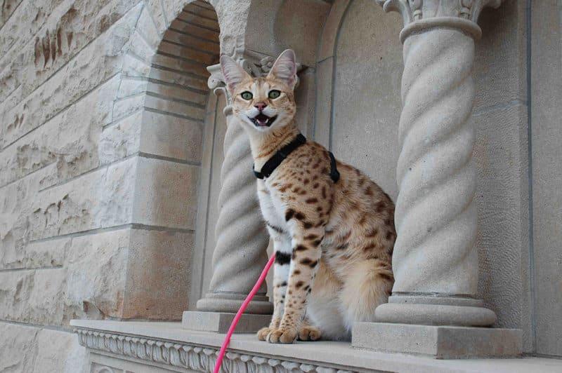 Wild Cat Breeds In Ct