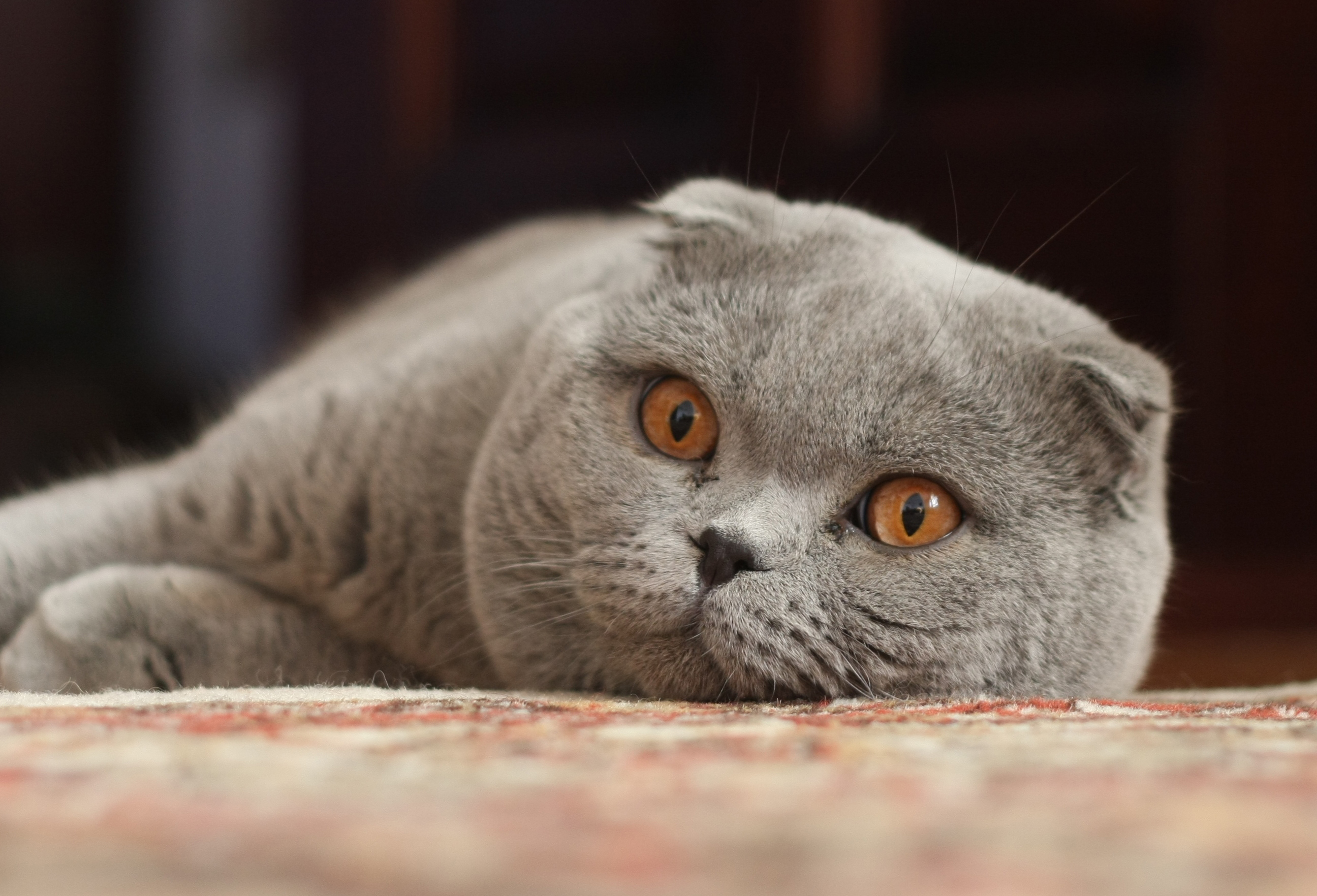 Scottish Fold Pictures Personality And How To Care For