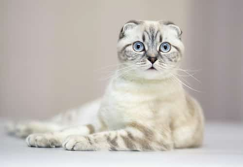 scottish fold breed profile