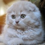 scottish fold personality info
