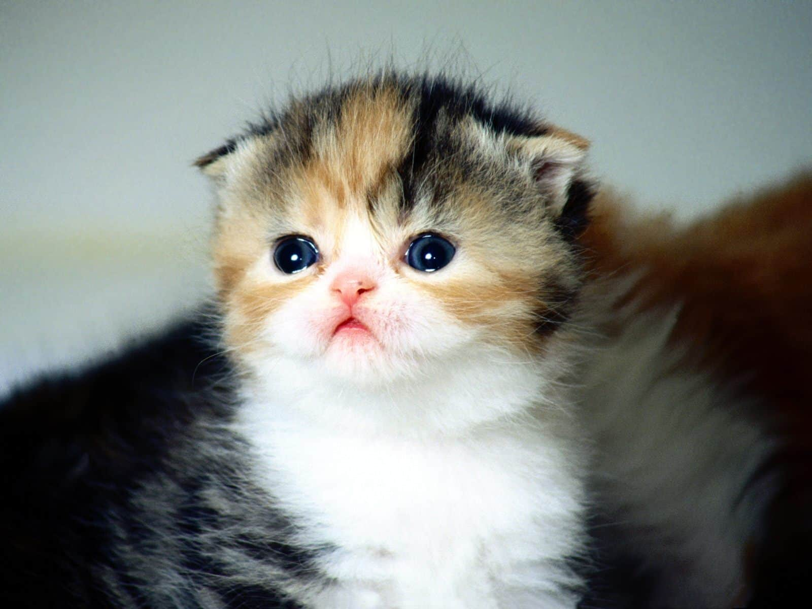 Scottish Fold Pictures...