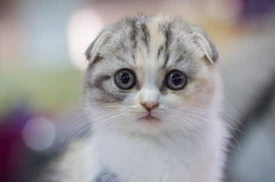 [Image: scottish-fold9.jpg]